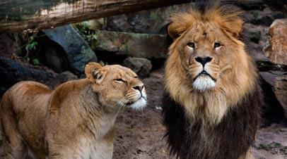 artis leeuwen