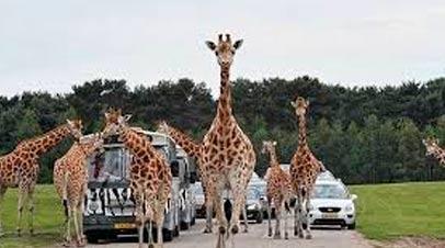 giraffes safaripark