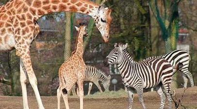 wildlands zoo emmen giraffen