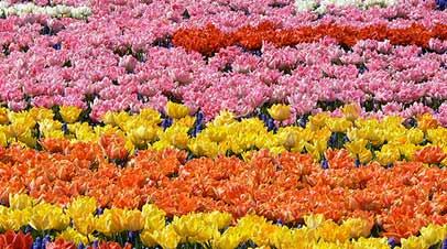 keukenhof bloemen